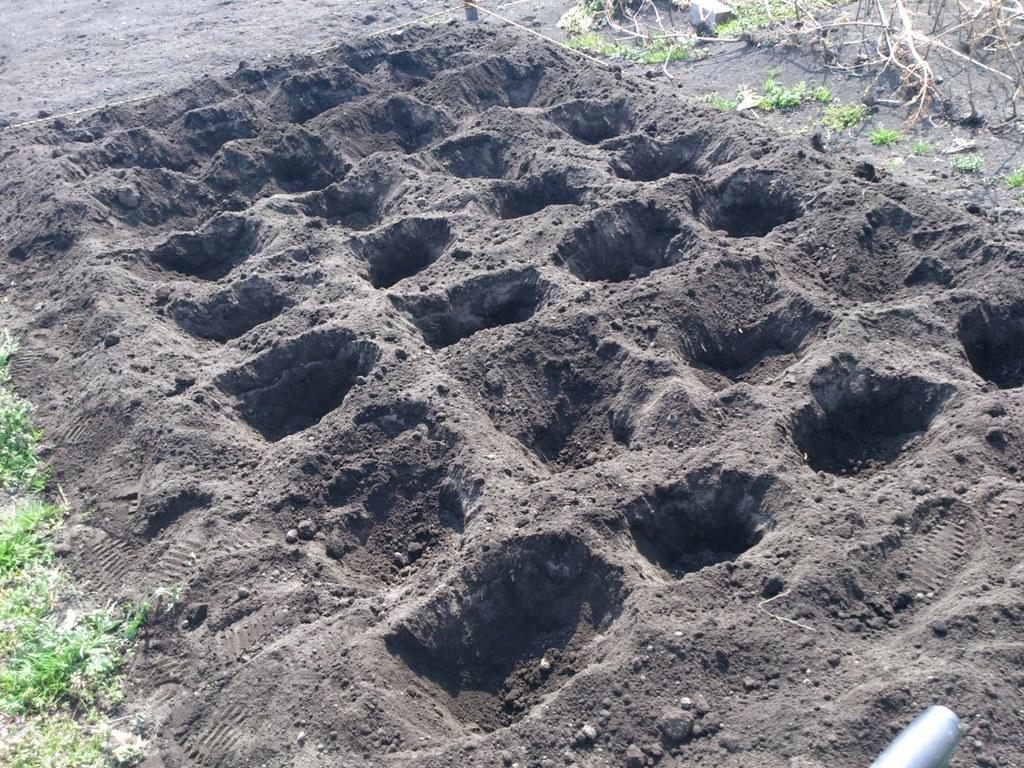 じゃがいもを植える個所を掘る