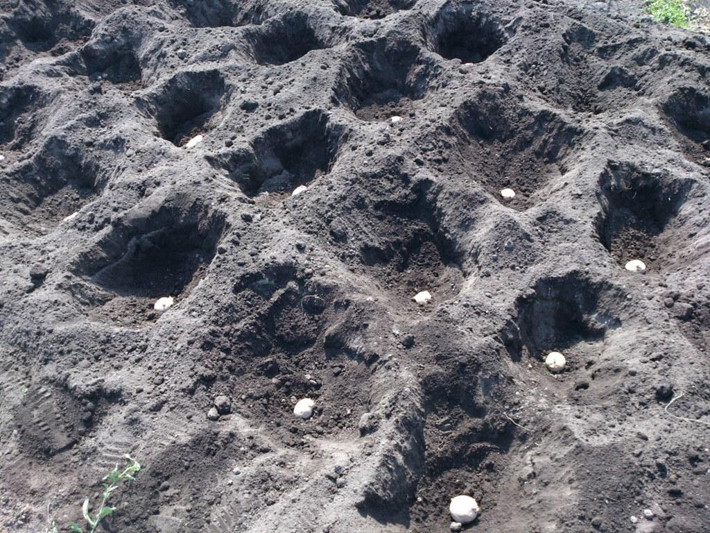 植えつけように掘った穴に種イモを設置しました。