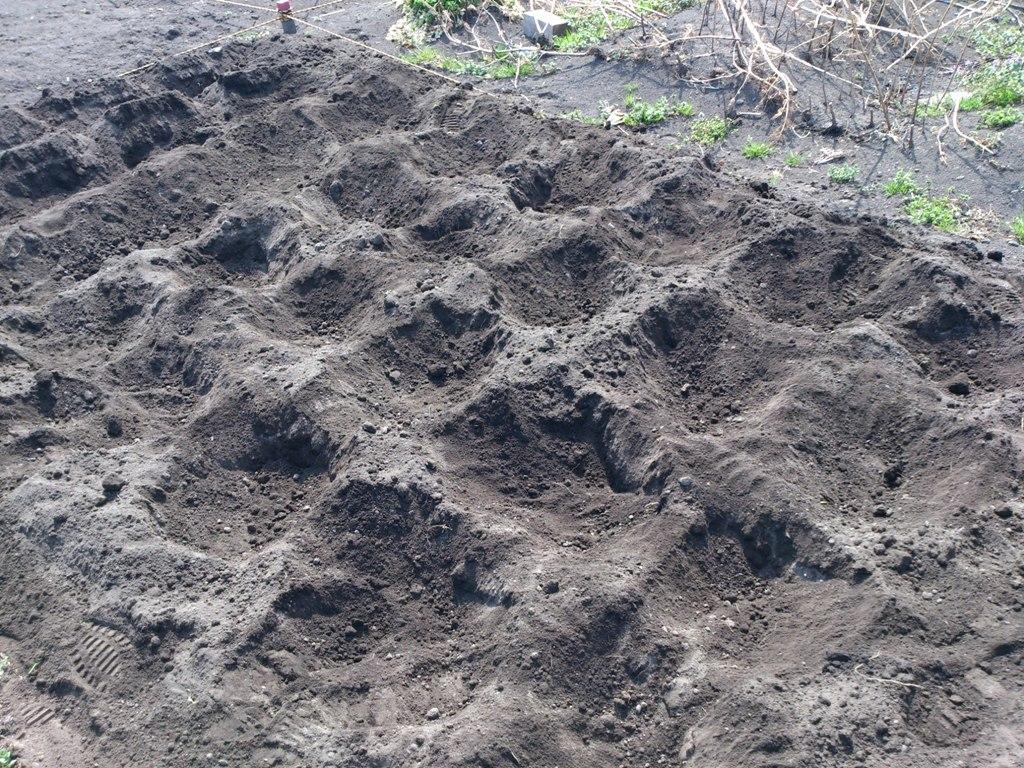 種イモに土をかぶせました。